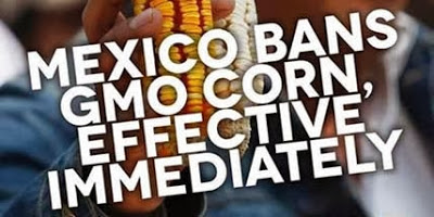 Mexico Bans GMO Corn, Effective Immediately
