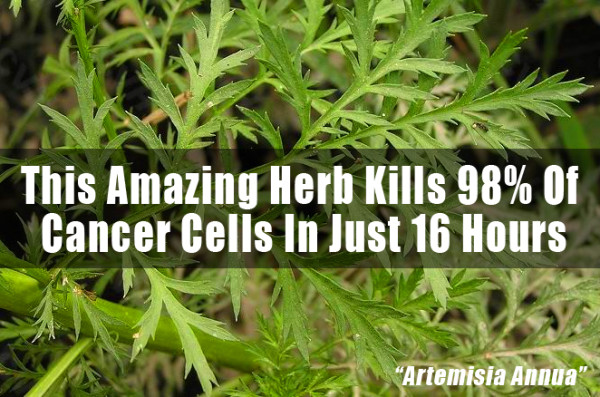 This Little Known Chinese Herb + Iron Kills 98% of Cancer Cells in 16 Hours