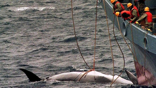 Japan Cancels Whale Hunt Off Antarctica