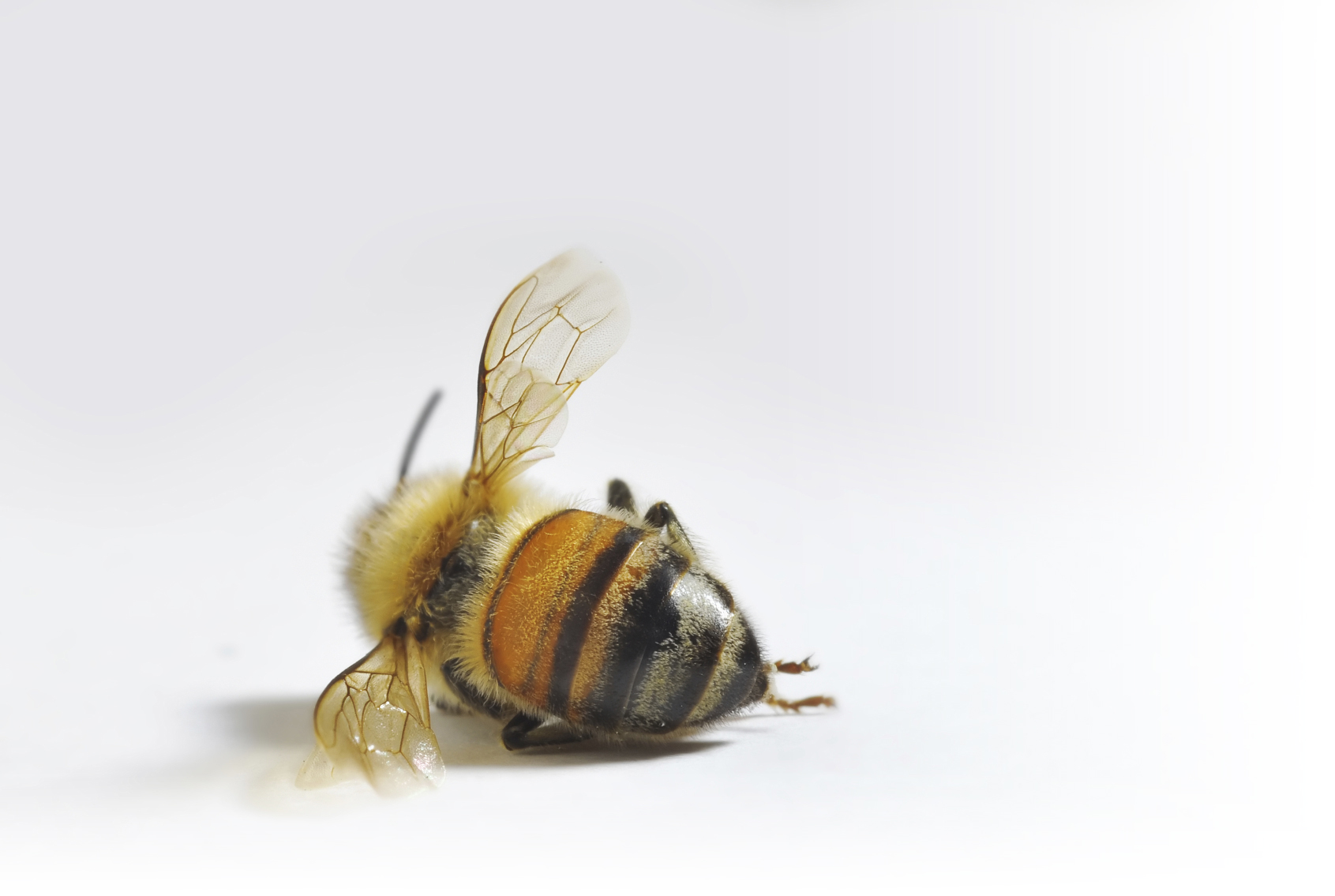 Since April 2014, Bee Population Has Declined 40% – 60%