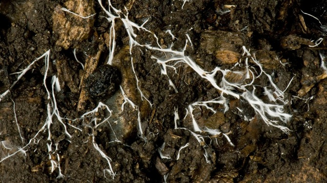 Branching threads of fungus mycelium in organic soil