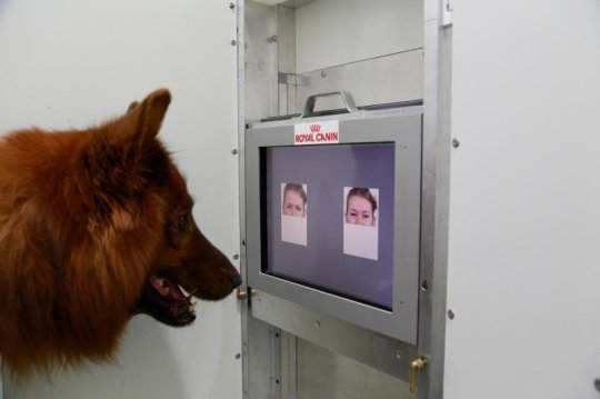This is the experimental set-up used to test whether dogs can discriminate emotional expressions of human faces. Credit: Anjuli Barber, Messerli Research Institute