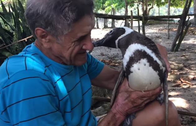 penguin who swims 5000 miles pereira de souza and dindim