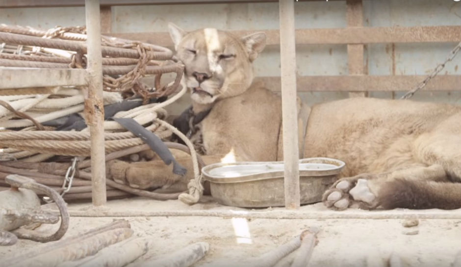 Mufasa lays among the rusting circus objects in the truck he was tied to for 20 years.