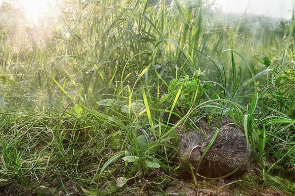 Two prairie voles taking cover in the grass.