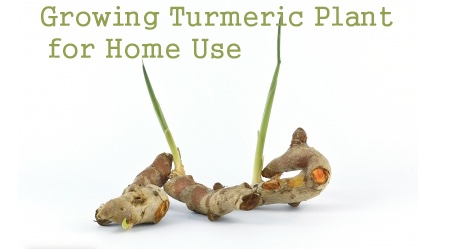 Home Grown Turmeric