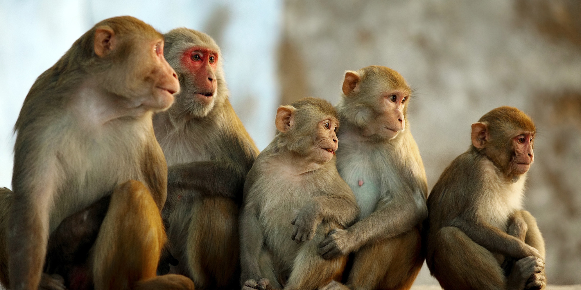Honeybees can Understand a Complex Mathematical Concept, Study Proves O-RHESUS-MONKEY-facebook