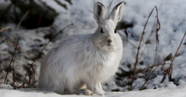 Hares Cannibals Eat Meat