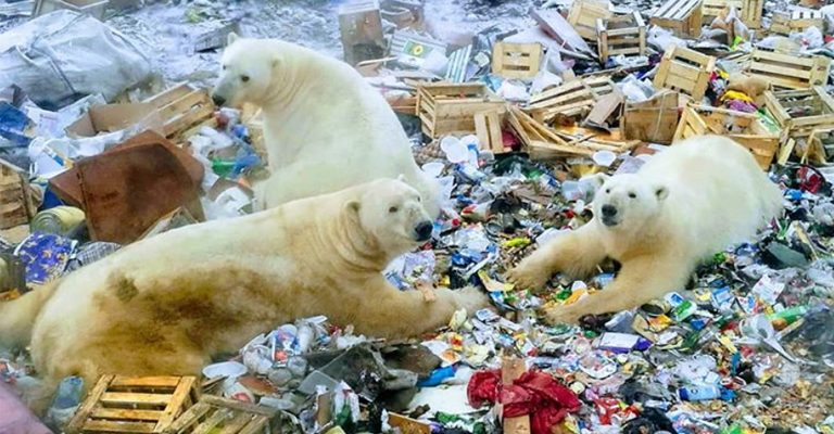 "State of Emergency Declared After Starving Polar Bears ""Invade"" Russian Islands"