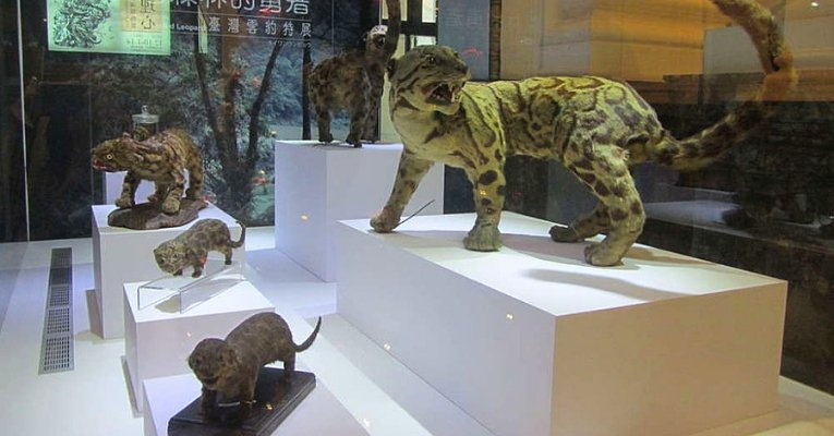 Extinct Taiwanese Leopard