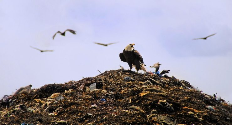 Bald Eagles Stealing Garbage Seattle