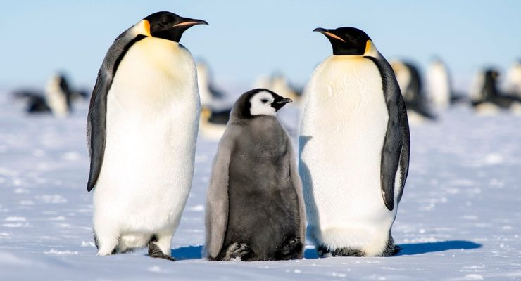 Emperor Penguin Colony Wiped Out