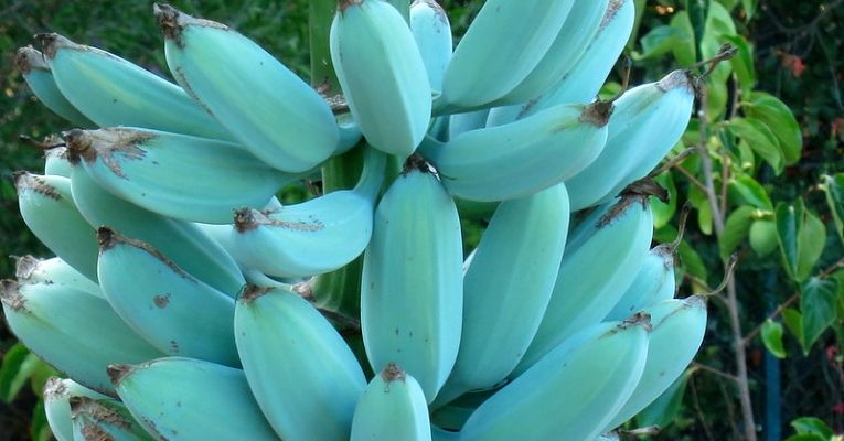 Blue Bananas Taste Like Vanilla Ice Cream