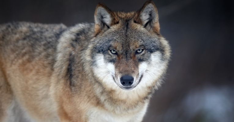 In Defense of the Wolf: This Big Bad Animal is More Prey Than Predator
