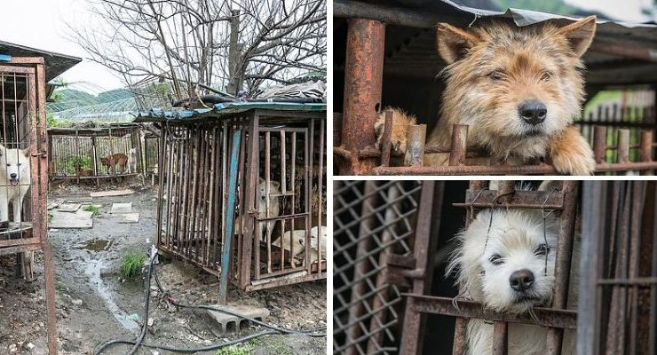 Dog Meat Market South Korea