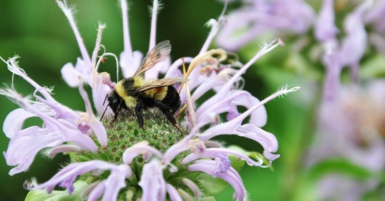 Minnesota to Pay Homeowners to Make Their Lawns Bee-Friendly