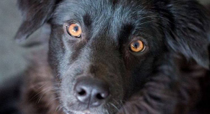 Why Dogs Have 'Puppy Dog Eyes'