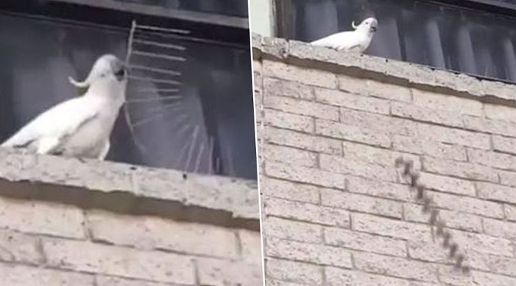 Cockatoo Tearing Down Anti-Bird Spikes