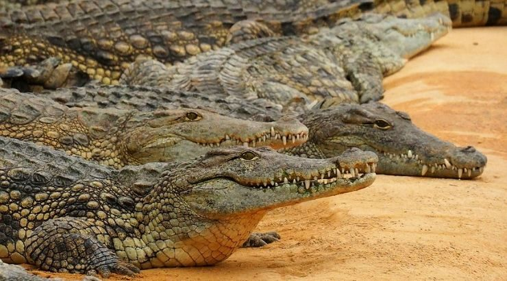 Crocodiles Thriving Nuclear Power Plant