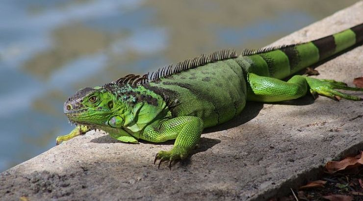 """Kill Iguanas """"Whenever Possible"""""""