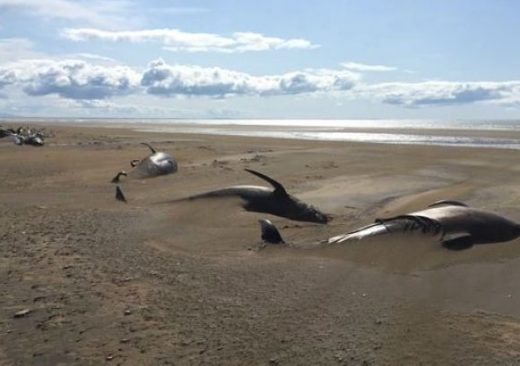 Pilot Whales Found Dead Iceland