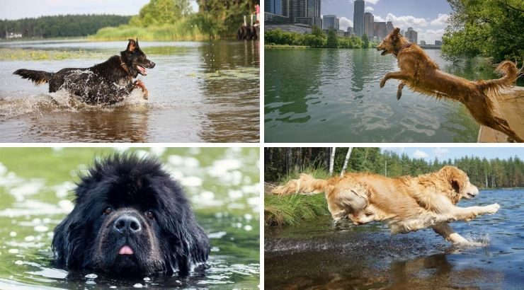 Dogs Dying After Swimming
