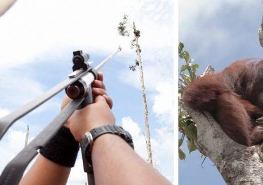 Pregnant, Starving Orangutan Clings Tree
