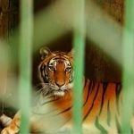 Tigers Rescued