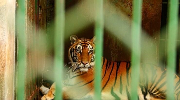 Over Half of the 147 Tigers Rescued From Buddhist Temple Have Died in Government Custody