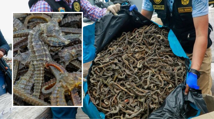 Illegally Caught Seahorses