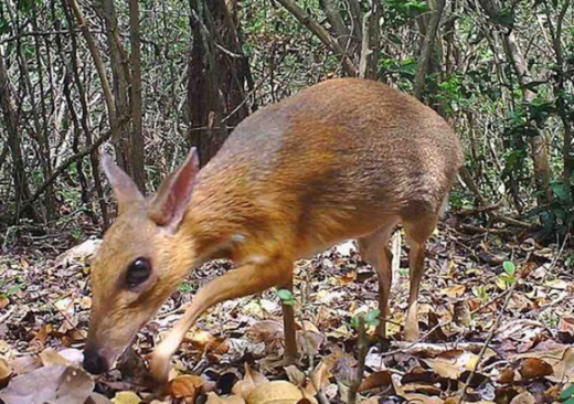 Mouse-Size Deer