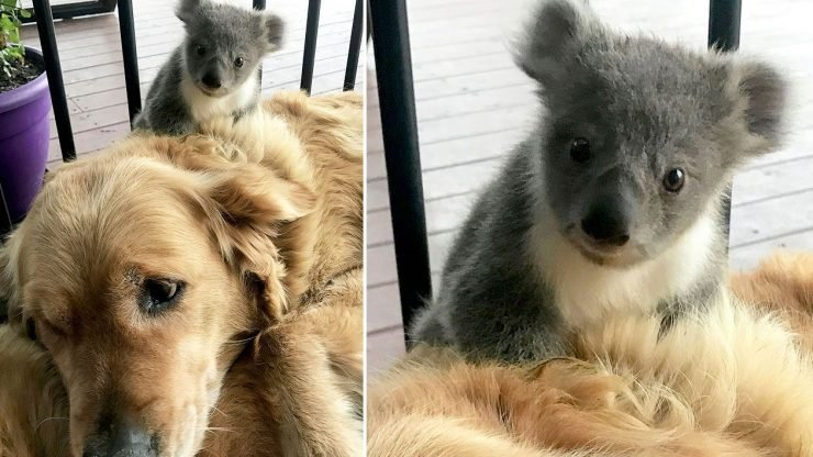 Image result for Caring Golden Retriever surprises owner with baby koala whose life she just saved