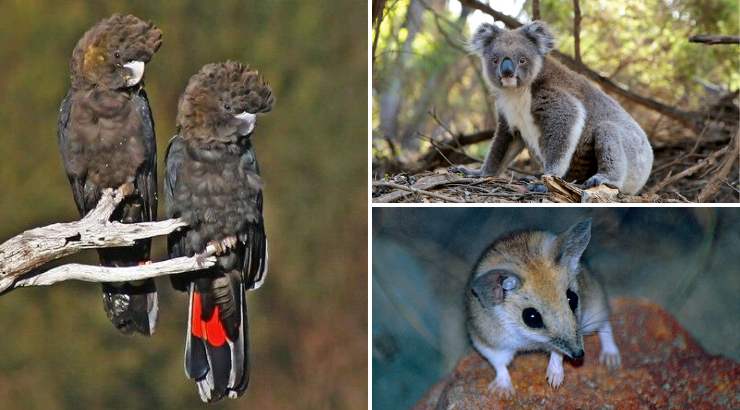 Entire Species Wiped Out Australia Fires