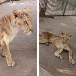 Starving African Lions in Sudan Zoo