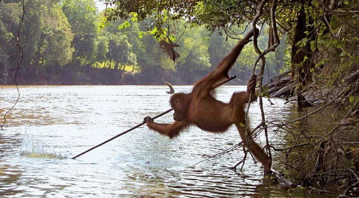 Iconic Photo Shows Orangutan Catching Fish With a Makeshift Spear