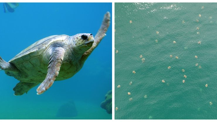 Drone Captures One of the Largest Swarms of Sea Turtles Ever Filmed Turtle-740x416