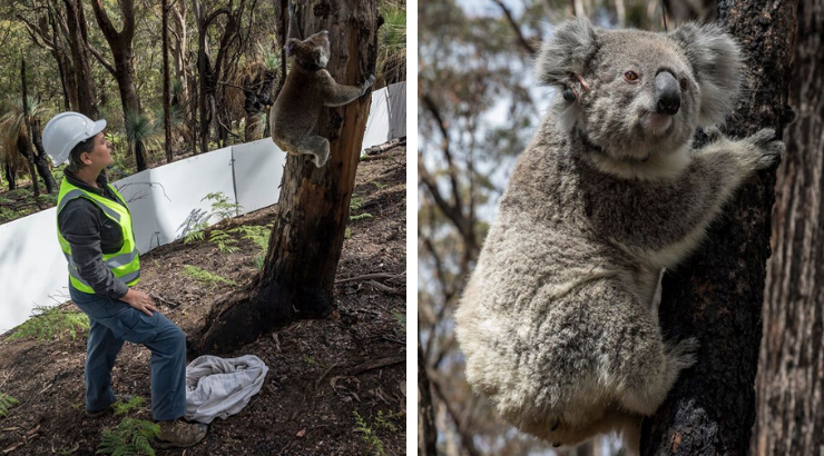 Rescued Koalas Released
